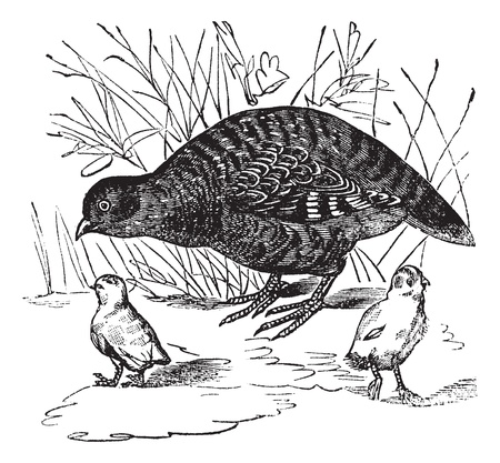 Grey Partridge or Perdix perdix, vintage engraved illustration. Trousset encyclopedia (1886 - 1891). Illustration