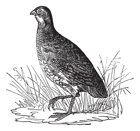 Codorniz o el norte de codorniz o codornices Colinus virginianus Virginia o, cosecha ilustración grabada. Enciclopedia Trousset (1886 - 1891). Ilustración de vector