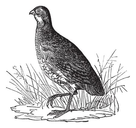 codorniz: Codorniz o el norte de codorniz o codornices Colinus virginianus Virginia o, cosecha ilustración grabada. Enciclopedia Trousset (1886 - 1891). Vectores