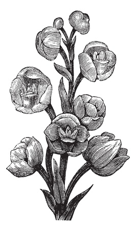 Peristeria elata, vintage engraved illustration. Trousset encyclopedia (1886 - 1891). Иллюстрация