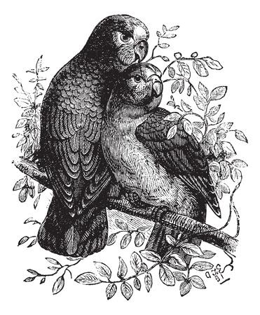 nido de pajaros: Rose-anilladas Parakeet o Perico Ringnecked o Psittacula krameri, cosecha ilustración grabada. Enciclopedia Trousset (1886 - 1891).