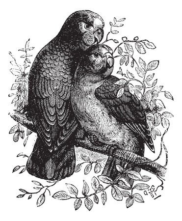 Rose-ringed Parakeet or Ringnecked Parakeet or Psittacula krameri, vintage engraved illustration. Trousset encyclopedia (1886 - 1891). Vector