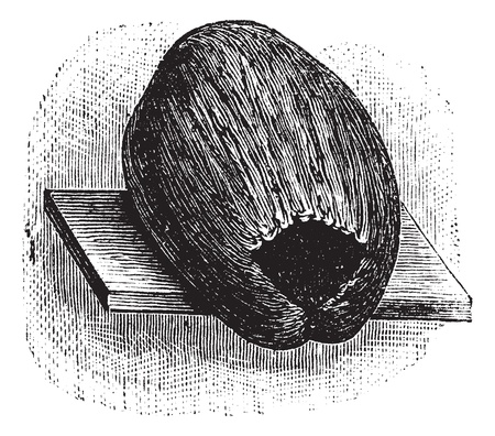 Parakeet Nest made of Coconut Husk and Shell, vintage engraved illustration. Trousset encyclopedia (1886 - 1891). Vector