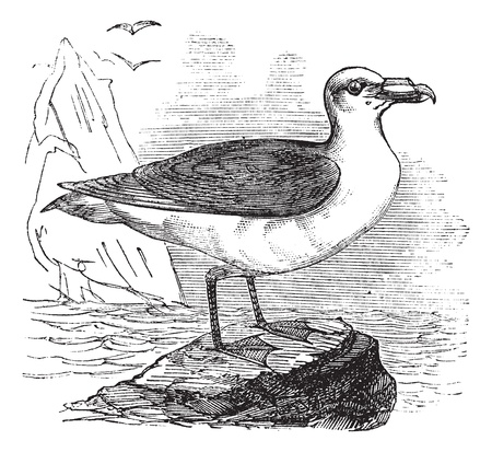 Grey Petrel or Brown Petrel or Pediunker or Grey Shearwater or Procellaria cinerea, vintage engraved illustration. Trousset encyclopedia (1886 - 1891). Stock Vector - 13770801