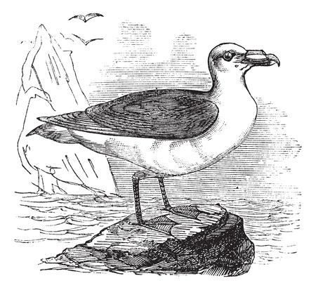 Grey Petrel or Brown Petrel or Pediunker or Grey Shearwater or Procellaria cinerea, vintage engraved illustration. Trousset encyclopedia (1886 - 1891). Illustration