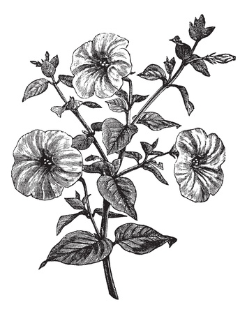botanical drawing: Petunia or Petunia sp., vintage engraved illustration. Trousset encyclopedia (1886 - 1891).