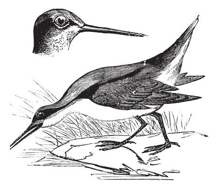 aves: Wilsons Phalarope or Phalaropus tricolor, vintage engraved illustration. Trousset encyclopedia (1886 - 1891).