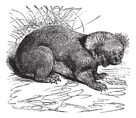 arboreal: Koala or Phascolarctos cinereus, vintage engraving. Old engraved illustration of Koala.