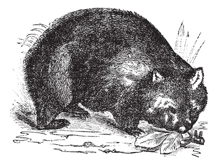 Common wombat or Vombatus ursinus or Coarse-haired wombat or Bare-nosed wombat, vintage engraving. Old engraved illustration of Common wombat in the meadow. Stock Vector - 13771693