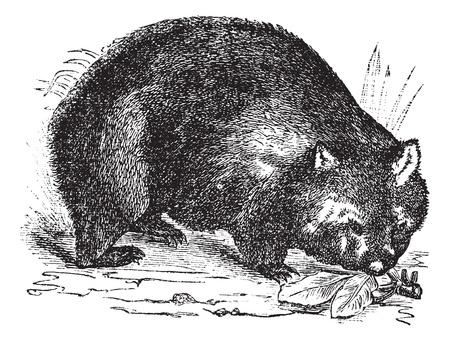 wombat: Wombat común o Vombatus ursinus o un koala gruesa de pelo o un koala desnudo de nariz, el grabado de la vendimia. Ilustración del Antiguo grabado de wombat común en la pradera.