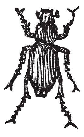 Phyllophaga isolated on white, vintage engraved illustration.Trousset encyclopedia (1886 - 1891).  Stock Vector - 13766262