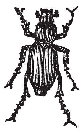 Phyllophaga isolated on white, vintage engraved illustration.Trousset encyclopedia (1886 - 1891).  Illustration
