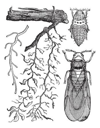 Phylloxera. - Radicicola: une racine, en bonne santé. b, les pucerons des racines dont les travaux, conçus de manière à montrer les n?uds et l'enflure causées par leurs piqûres. c, abandonnée par les pucerons des racines sur lesquelles les radicaux commencent à mourir. d, les pucerons des racines sur le grand (la taille naturelle). e, la pupe Banque d'images - 13771571