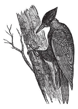 perch: Black Woodpecker of America (Dryotomus pileatus), vintage engraved illustration. Trousset encyclopedia (1886 - 1891).