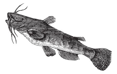 Brown bullhead or Ameiurus nebulosus, vintage engraved illustration. Trousset encyclopedia (1886 - 1891). Vector
