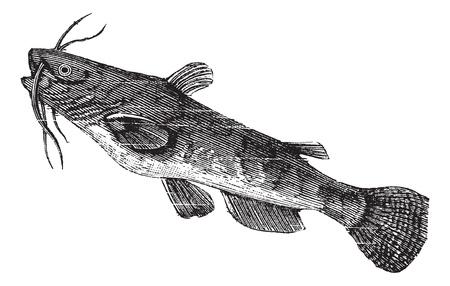 bagre: Brown siluro o nebulosus Ameiurus, cosecha ilustración grabada. Enciclopedia Trousset (1886 - 1891).