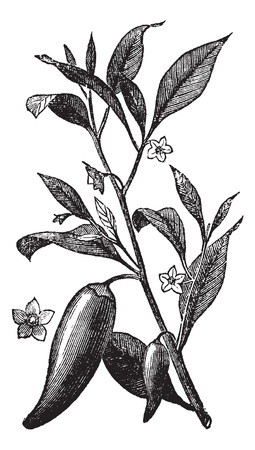 black pepper: Annual chili (Capsicum annuum) or Mississippi sport pepper, vintage engraved illustration. Trousset encyclopedia (1886 - 1891).  Illustration