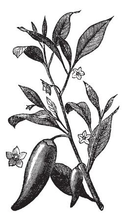 pepe nero: Annuale peperoncino (Capsicum annuum) o lo sport Mississippi pepe, vintage illustrazione incisa. Trousset enciclopedia (1886 - 1891). Vettoriali