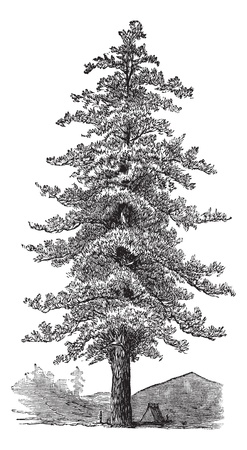 pine: American yellow pine (Pinus ponderosa) or Ponderosa Pine or Bull Pine or Blackjack Pine or Western Yellow Pine,vintage engraved illustration. Trousset encyclopedia (1886 - 1891).