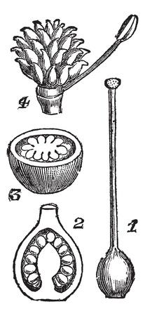 pistil: Pistils. - 1. Pistil syncarp Primrose 2. Vertical section of the same 3. Horizontal section of the same 4. Pistil has separate carpels (renocule acre), vintage engraved illustration.Trousset encyclopedia (1886 - 1891).