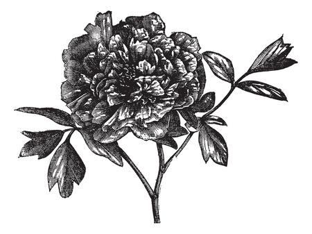 Tree peony (Paeonia Moutan), vintage engraved illustration. Tree peony isolated on white. Trousset encyclopedia (1886 - 1891). Vectores