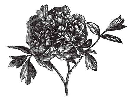 tree peony: Tree peony (Paeonia Moutan), vintage engraved illustration. Tree peony isolated on white. Trousset encyclopedia (1886 - 1891). Illustration