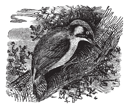 black and white forest: Woodpecker or piculets or wrynecks, vintage engraved illustration. Trousset encyclopedia (1886 - 1891). Illustration