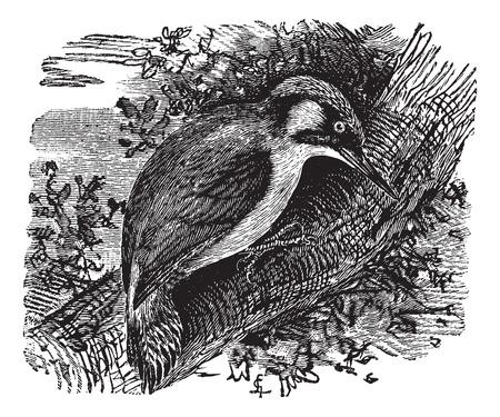 Woodpecker or piculets or wrynecks, vintage engraved illustration. Trousset encyclopedia (1886 - 1891). Stock Vector - 13771015