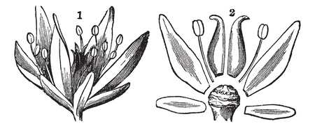 Parts of a Flower, showing floral axis, petals, sepals, filament, and style, vintage engraved illustration. Trousset encyclopedia (1886 - 1891).