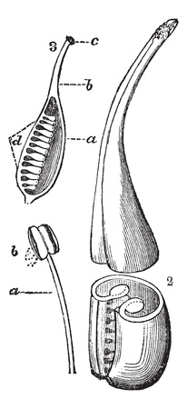 reproduce: Reproductive Structure of a Flower, showing filament composed of a stamen and an anther with pollen (lower left) and the ovary, style and stigma (right and upper left), vintage engraved illustration. Trousset encyclopedia (1886 - 1891).