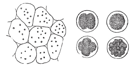 Cell Division in plants (left) and in animals (right), vintage engraved illustration. Trousset encyclopedia (1886 - 1891). Иллюстрация