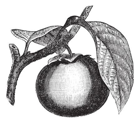 persimmon: Caqui japon�s o el caqui Diospyros, cosecha ilustraci�n grabada. Enciclopedia Trousset (1886 - 1891).