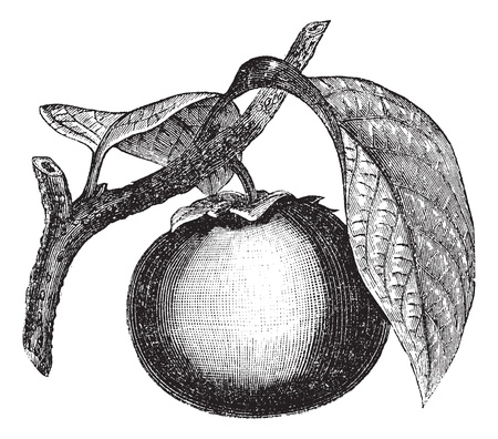 Japanese Persimmon or Diospyros kaki, vintage engraved illustration. Trousset encyclopedia (1886 - 1891). Vector