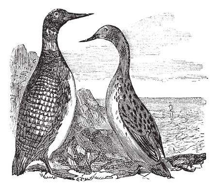 ornithological: Great Northern Loon or Great Northern Diver or Common Loon or Gavia immer, vintage engraved illustration. Trousset encyclopedia (1886 - 1891).