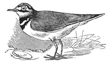 ornithological: Ringed Plover or Charadrius hiaticula, vintage engraved illustration. Trousset encyclopedia (1886 - 1891).