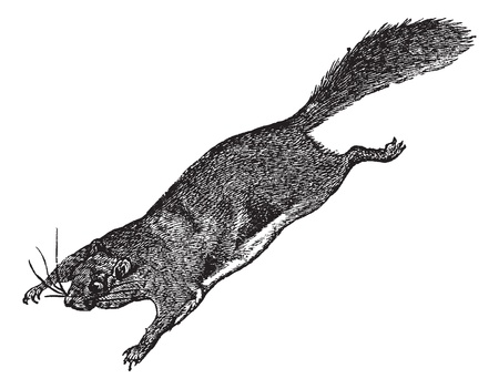 squirrels: Flying Squirrel or Pteromyini or Petauristini, vintage engraved illustration. Trousset encyclopedia (1886 - 1891).