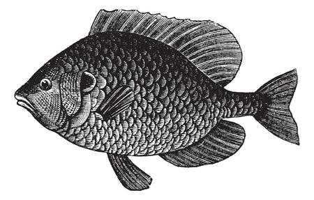 호박씨 개복치 또는 인 Lepomis gibbosus, 빈티지 새겨진 그림. Trousset 백과 사전 (1886-1891). 일러스트
