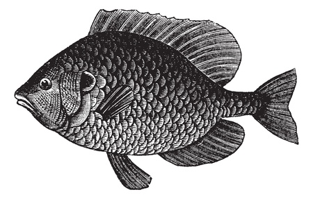 Pumpkinseed Sunfish or Lepomis gibbosus, vintage engraved illustration. Trousset encyclopedia (1886 - 1891). Vector