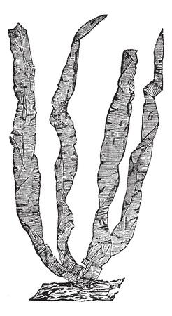 algal: Seaweed or Porphyra sp., vintage engraved illustration. Trousset encyclopedia (1886 - 1891).