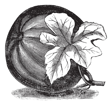 Pumpkin (Cucurbita pepo) vintage engraving. Old engraved illustration of Pumpkin with flower. Иллюстрация