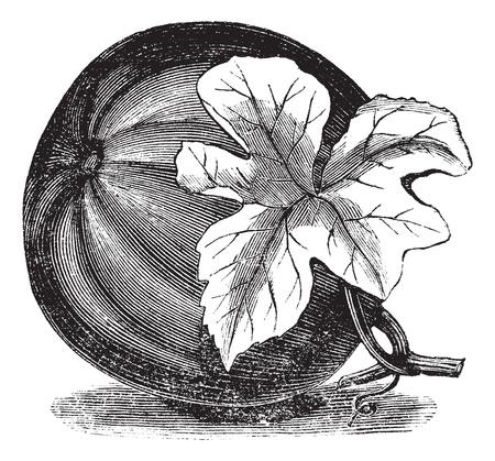Pumpkin (Cucurbita pepo) vintage engraving. Old engraved illustration of Pumpkin with flower. Vettoriali