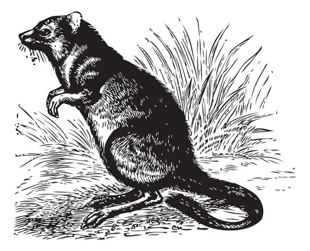 watchful: Long-nosed Potoroo or Potorous tridactylus, vintage engraving. Old engraved illustration of Long-nosed Potoroo in the meadow.
