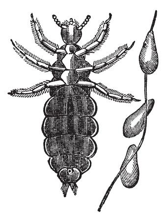 piojos: Piojos de la cabeza o Pediculus humanus capitis o piojo Pediculus capitis o el Jefe, el grabado de época. Ilustración del Antiguo grabado de los piojos de la cabeza aislada en un fondo blanco.