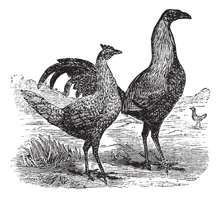 Fighting cock with its hen, vintage engraving. Old engraved illustration of Fighting cock and hen. Vector