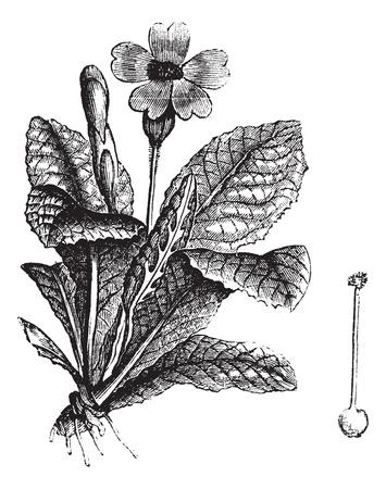 cowslip으로 또는 물라 VERIS 또는 앵초 속의 각종 초본의 officinalis 또는 Cuy의 리페 또는 허브 피터 또는 Paigle 또는 Peggle이나 주요 꽃이나 천국이나 요정 컵 일러스트