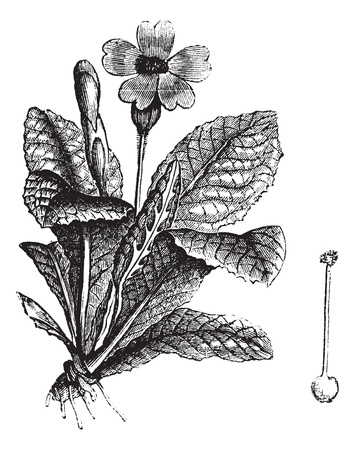Cowslip or Primula veris or Primula officinalis or Cuy lippe or Herb Peter or Paigle or Peggle or Key Flower or Key of Heaven or Fairy Cups or Petty Mulleins or Crewel or Buckles or Palsywort or Plumrocks, vintage engraving. Old engraved illustration of C