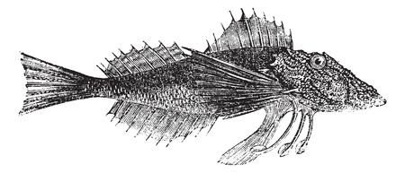 Common Sea Robin o Prionotus carolinus o Nord del Mar Robin o Cappone, incisione vintage. Old illustrazione incisa di Common Sea Robin isolato su uno sfondo bianco. Archivio Fotografico - 13770286