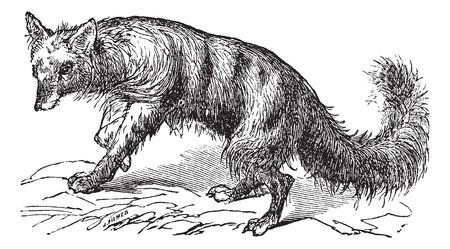 Aardwolf or Proteles cristatus or Maanhaar jackal or Proteles cristata, vintage engraving. Old engraved illustration of Aardwolf.