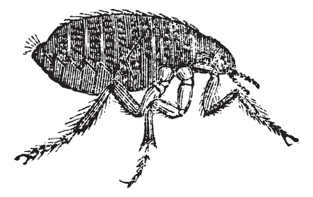 Human flea or Pulex irritans, vintage engraving. Old engraved illustration of Human flea isolated on a white background.