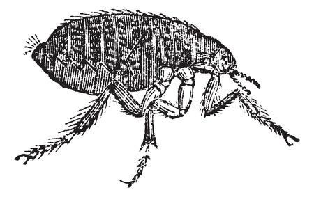 flea: Irritans Humanos pulgas Pulex, el grabado o la vendimia. Ilustraci�n del Antiguo grabado de la pulga del hombre aislado en un fondo blanco.